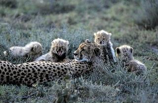 Cheetah, Gepard, Acinonyx jubatus