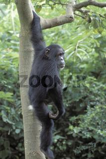 Chimpanzee, Schimpanse