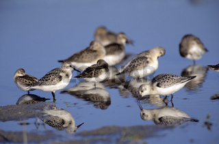 Sanderling, Calidris alba, NP Wattenmeer, Europe, Europa, Germany, Deutschland