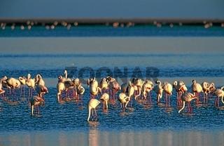 Flamingos Phoenicopterus ruber