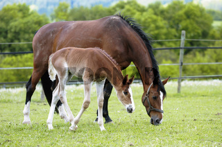 German warmblood Horse, mare with foal / Deutsches Warmblut, Stute mit Fohlen
