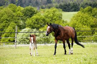 German warmblood Horse, mare with foal / Deutsches Warmblut, Stute mit Fohlen