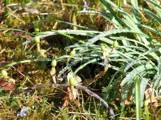 Schneeglöckchen, Galanthus, Snowdrop