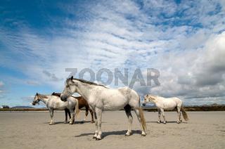Connemara Pony und Irish Draught horses am Strand von Carna - Connemara pony and Irish Draught horses on the beach