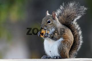 Grauhoernchen, Sciurus carolinensis, Eastern Gray Squirrel  everglades np, usa