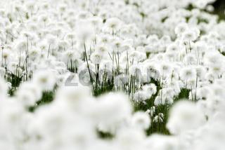 close up, detail, cottongrass, cottonsedge, wollgras, eriophorum, lapland, lappland, schweden, sweden, swedish lapland, europe, europa