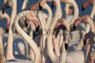 Rosaflamingo, (Phoenicopterus ruber roseus), European Flamingos