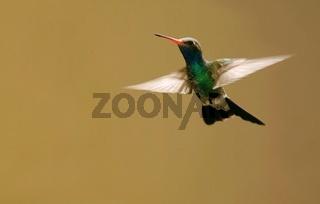 Kolibri - Trochilidae