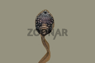 Kaulquappe des Grasfrosches Rana temporaria
