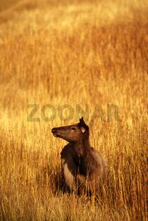 Wapiti, Cervus elaphus, Elk, Weibchen, female