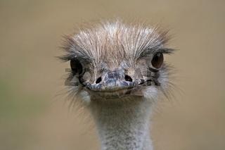 Strauß im Porträt, Ostrich