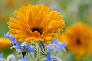 Garden Marigold   Gemeine Ringelblume