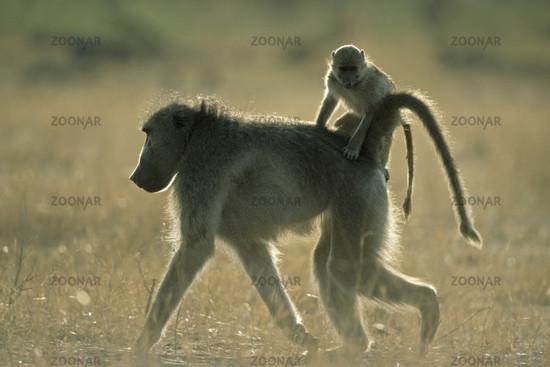 Baeren-Pavian mit Jungtier auf dem Ruecken, Chacma Baboon with young on the back (Papio ursinus), Hwange National Park, Simbabwe, Afrika