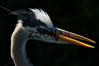 Kanadareiher, Ardea herodias, Great Blue Heron  everglades np, usa