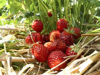 Erdbeerbusch