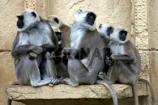 Heilige Affen - Hulman-Languren haumann-langur, hulam, graue langure, indische langure, semnopithecus, gray langur