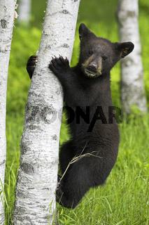 Amerikanischer Schwarzbaer, Jungtier, cub,  Baribal, Ursus americanus, Black Bear, Jasper Nationalpark, Kanada, Canada