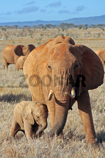 Rote Elefanten, Red Elephants, Kenia