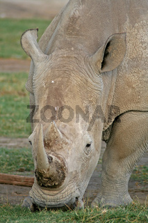 Nashorn, Kenia, wildlife, white rhinoceros