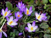 Frühlingsboten: Krokusse