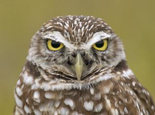 kaninchenkauz, athene cunicularia, burrowing owl, Kaninchenkauz, Kanincheneule
