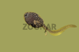 Grasfroschlarve Rana temporaria