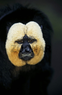 weisskopfsaki, blasskopfsaki, pithecia pithecia, guianan saki, white-faced saki, golden-faced saki, pale-headed saki