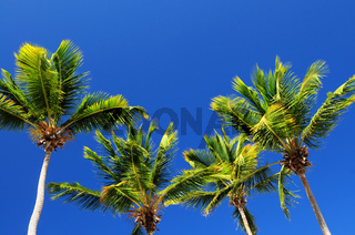Palms on blue sky background