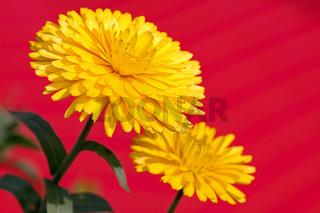 Gelbes Calendula-Pärchen auf rot freigestellt