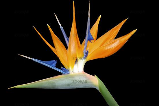 Paradisvogelblume