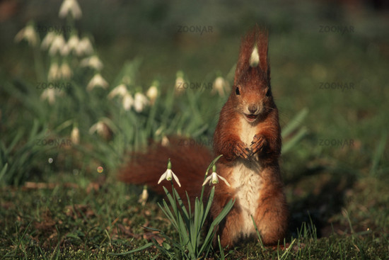 Eichhoernchen, Red Squirrel, Sciurus vulgaris