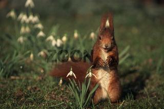 Eichhoernchen, Red Squirrel, Sciurus vulgaris