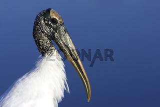 Waldstorch, Wood Stork (Mycteria americana)