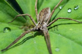Spinne mit Wassertropfen -