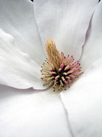 Magnolienblüte I.
