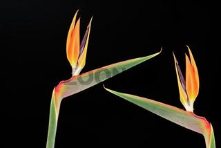 Paradiesvogelblumen