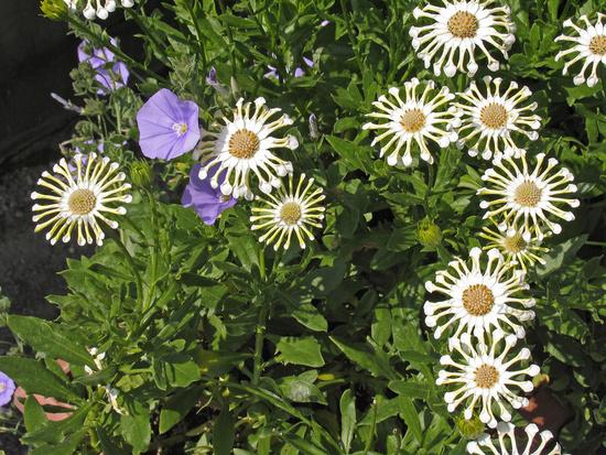 Остеоспермум выращивание из семян в домашних условиях 567