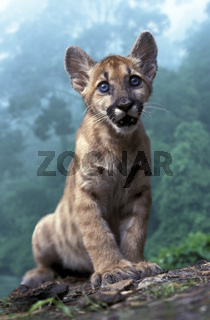 Florida-Panther, Puma, Felis concolor coryi, Puma concolor, Cougar