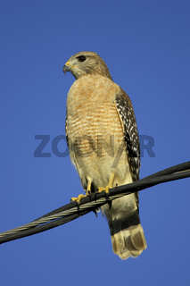 Rotschulterbussard, Buteo lineatus, Red-shouldered Hawk