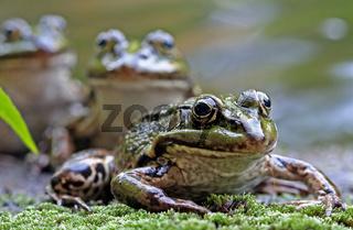 Frosch, Frösche am Teich, Frogs
