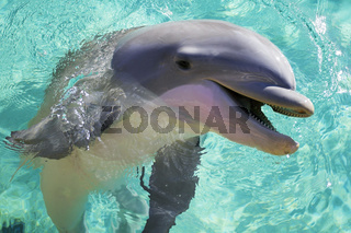 Grosser Tuemmler, bottlenose dolphin, tursiops truncatus,