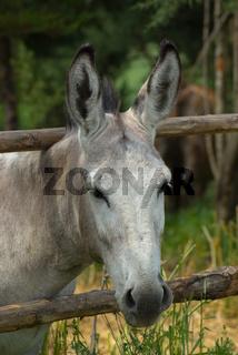 Esel - Ass, Donkey