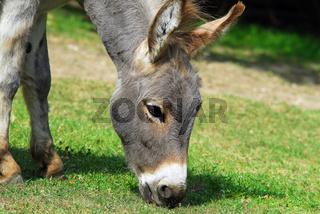 Esel, donkey