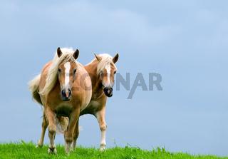 Zwei Pferde im Galopp auf der Weide -