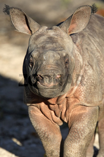 Great Indian Rhinoceros, Great One-horned Rhinoceros, three weeks old cub, Baby