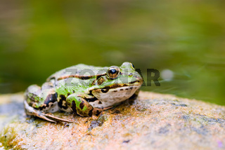 Grüner Wasserfrosch im Teich -