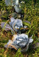 Rotkohl ~ Blaukraut, Gemüsefeld