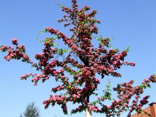 Crataegus laevigata, Rotdorn, Hawthorn
