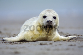 Kegelrobbe, (Halichoerus grypus), Weibchen mit Jungtier, Junges, Neugeborenes, Nordsee, Wattenmeer, Schleswig-Holstein, Deutschland, grey seal, at beach, lying, adult and juvenile, Germany, Atlantik, North Sea