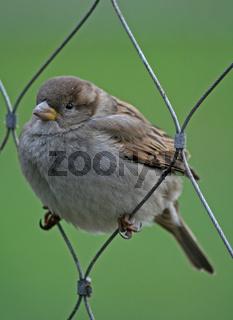 Spatz, Haussperling, sparrow